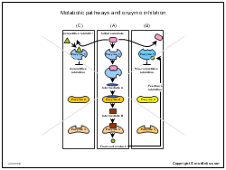 Metabolic pathways and enzyme inhibition