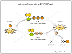 Adenosine triphosphate and ATP ADP cycle