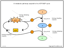 A metabolic pathway coupled to the ATP ADP cycle