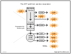 The ATP yield from aerobic respiration