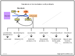 Variations in fermentation end products