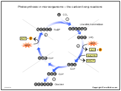 Photosynthesis in microorganisms - the carbon-fixing reactions