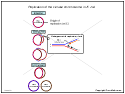 Replication of the circular chromosome in E coli