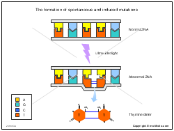 The formation of spontaneous and induced mutations