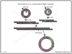 Construction of a recombinant DNA molecule