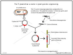 The Ti plasmid as a vector in plant genetic engineering
