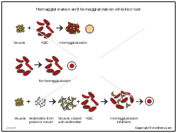 Hemagglutination and hemagglutination-inhibition test
