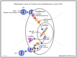 Replication cycle of human immunodeficiency virus (HIV)