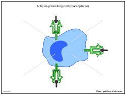 Antigen-presenting cell macrophage