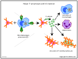 Helper T lymphocyte and its function