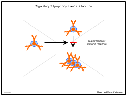 Regulatory T lymphocyte and its function