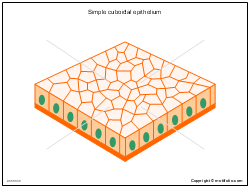 Simple cuboidal epithelium