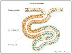 Coiled tubular gland