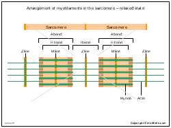 Arrangement of myofilaments in the sarcomere - relaxed state