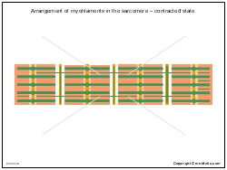Arrangement of myofilaments in the sarcomere - contracted state