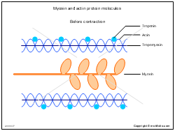 Myosin and actin protein molecules