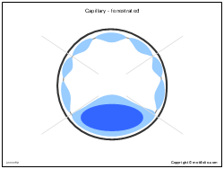 Capillary - fenestrated