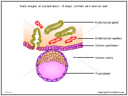 Early stages of implantation - 6 days contact with uterine wall