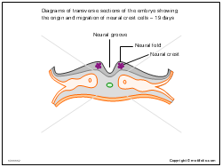 Diagrams of transverse sections of the embryo showing the origin and migration of neural crest cells - 19 days