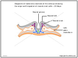 Diagrams of transverse sections of the embryo showing the origin and migration of neural crest cells - 20 days