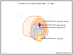 Formation of the lateral body folds - 21 days