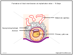 Formation of fetal membranes at implantation sites - 10 days