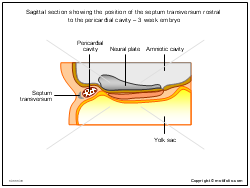 Sagittal section showing the position of the septum transversum rostral to the pericardial cavity - 3 week embryo