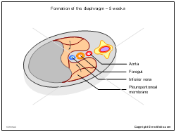 Formation of the diaphragm - 5 weeks