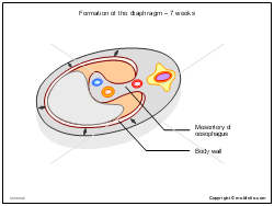 Formation of the diaphragm - 7 weeks