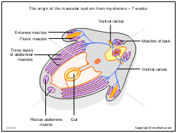 The origin of the muscular system from myotomes - 7 weeks