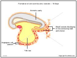 Formation of extra-embryonic vessels - 18 days