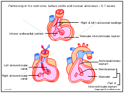 Partitioning of the ventricles bulbus cordis and truncus arteriosus 5-7 weeks