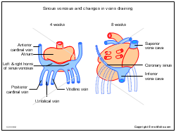 Sinous venosus and changes in veins draining