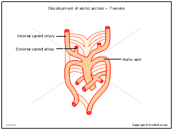 Development of aortic arches - 7 weeks