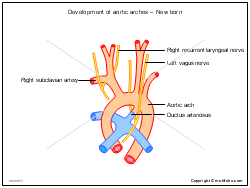 Development of aortic arches - New born