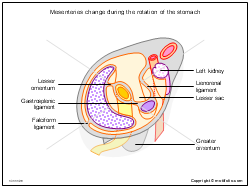 Mesenteries change during the rotation of the stomach