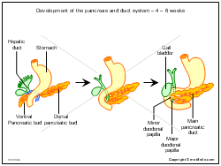 Development of the pancreas and duct system - 4 - 6 weeks