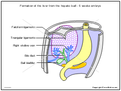 Formation of the liver from the hepatic bud - 5 weeks embryo