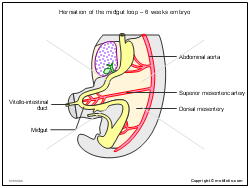 Herniation of the midgut loop - 6 weeks embryo