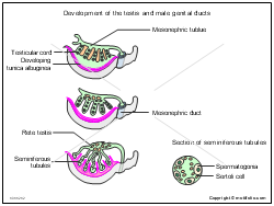 Development of the testis and male genital ducts