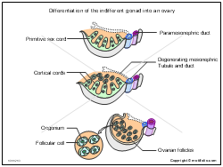 Differentiation of the indifferent gonad into an ovary
