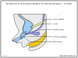 Development of the accessory glands of the male genital system - 10 weeks