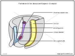 Formation of the uterus and vagina - 9 weeks
