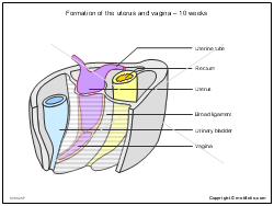 Formation of the uterus and vagina - 10 weeks
