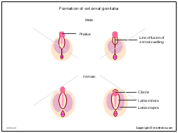 Formation of external genitalia