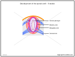 Development of the spinal cord - 5 weeks