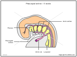 Pharyngeal arches - 5 weeks