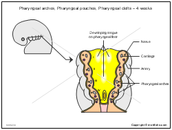 Pharyngeal arches Pharyngeal pouches Pharyngeal clefts - 4 weeks