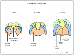 Formation of the palate
