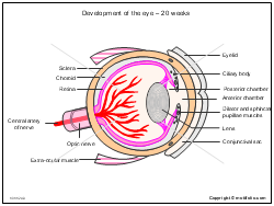 Development of the eye - 20 weeks